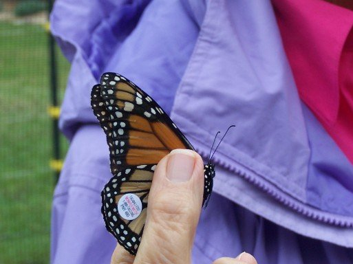 another close up of a tagged monarch