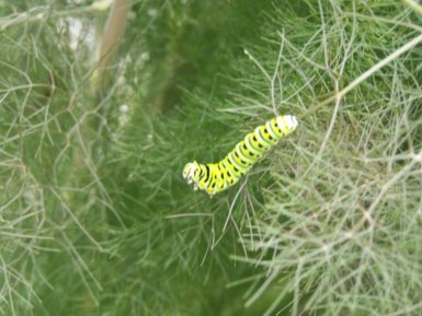 BLACK SWALLOWTAIL ON FENNEL