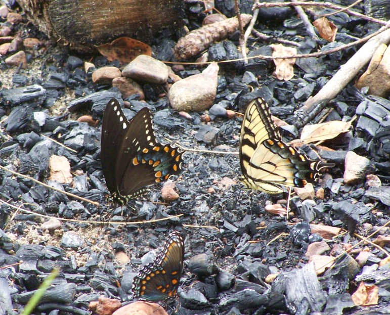 BUTTERFLIES PUDDLING ON ASH